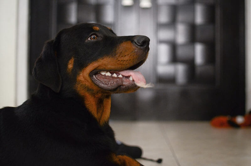 Rottweilers are great dogs