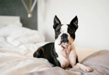 care for boston terrier