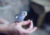 Pet Bird Breeding
